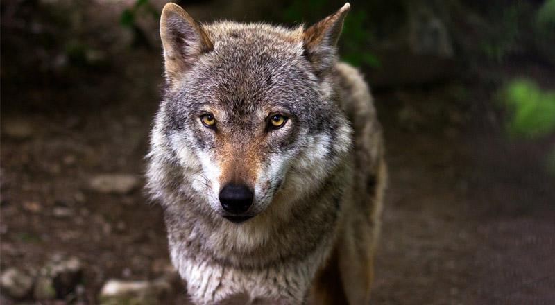 Czy wilki przechodziły przez  powiat ropczycko-sędziszowski?